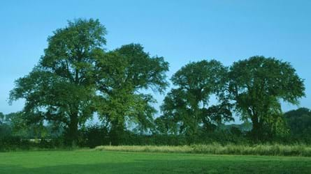 Four English elm trees in a field