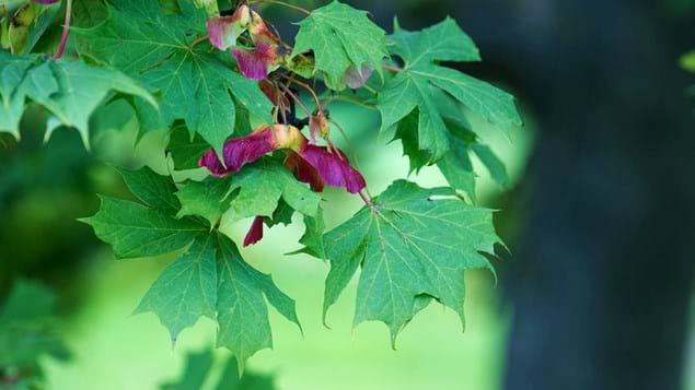 Norway maple leaves and winged seeds in autumn