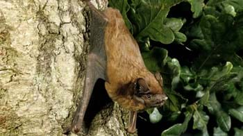 Noctule bat resting on an oak tree