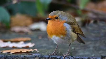 Robin close up on ground
