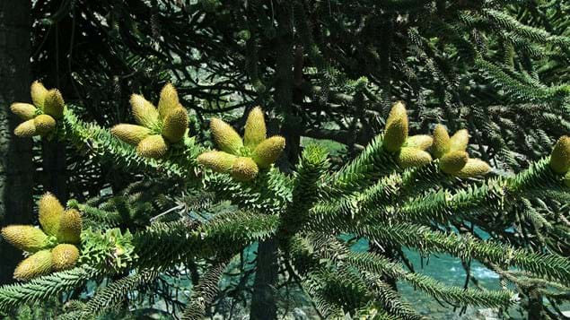 Monkey puzzle male cones bearing pollen
