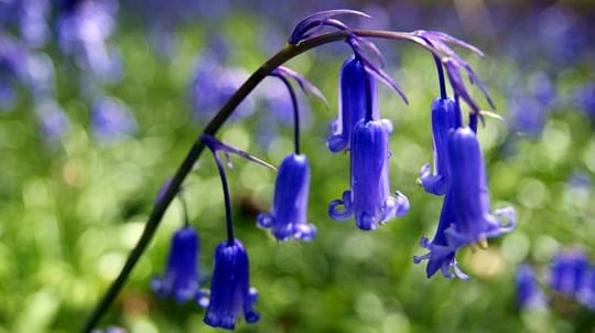 Bluebells close-up