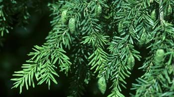 Western hemlock branches close-up
