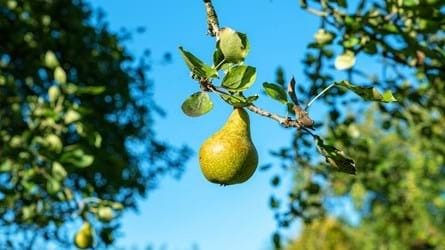 A pear growing on a pear tree against a bright blue sky at Cefn Ila