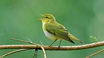 Wood warbler singing on branch