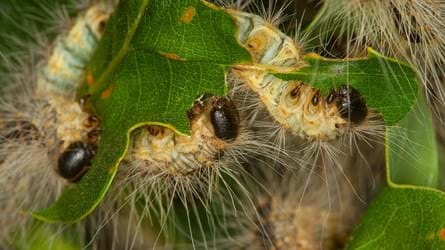 Oak processionary moths feeding on oak leaves