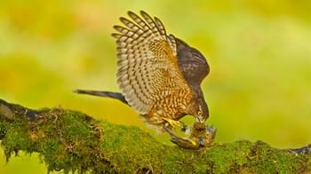 Sparrowhawk eating prey