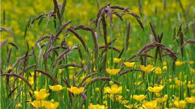 Yorkshire Fog Grass with Meadow Buttercups
