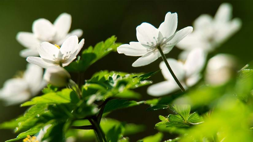 wood anemone flowers and leaves close-up