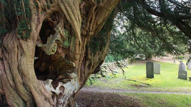 Hollow ancient tree in graveyard