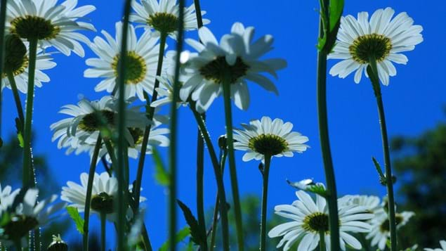 Ox-eye daisies photographed from underneath