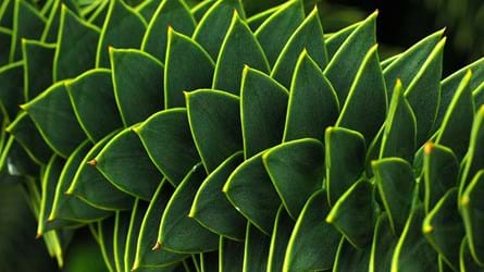Monkey puzzle leaves close-up