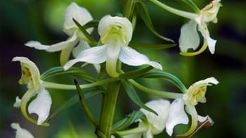 Greater butterfly-orchid flower close up