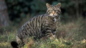 Scottish wildcat standing in front of trees