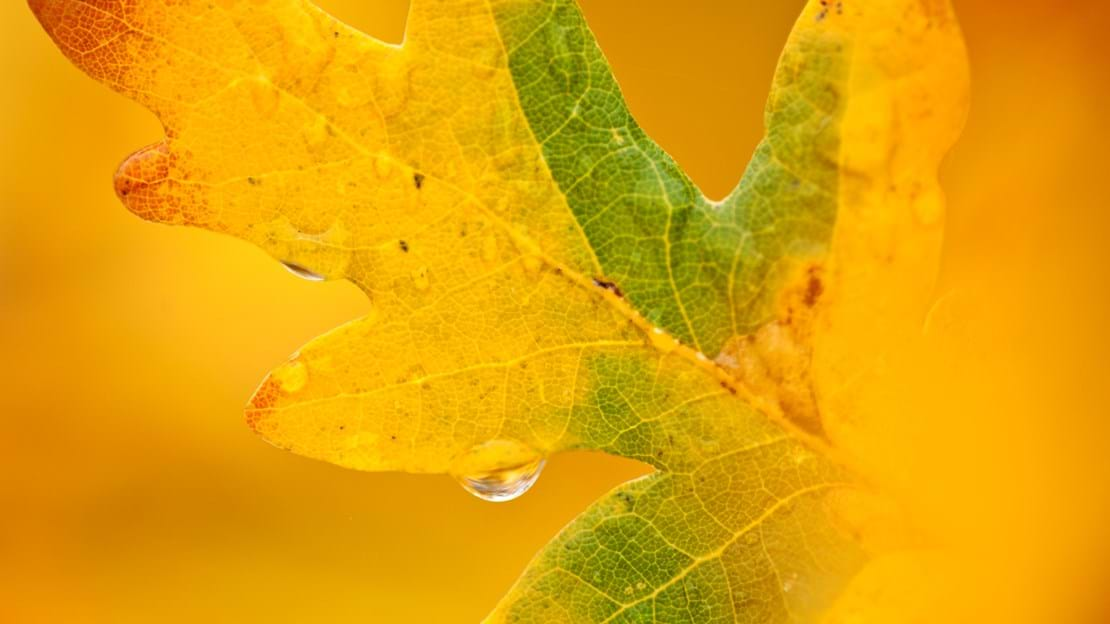 English oak leaf turning yellow in autumn