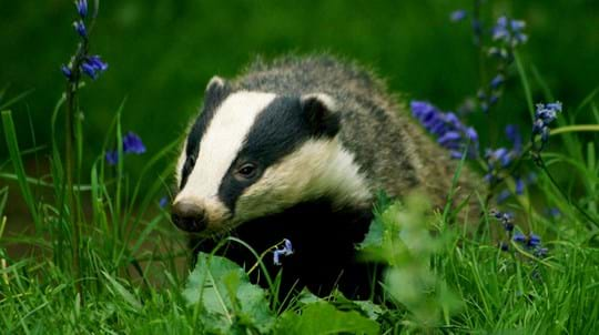 Badger among bluebells