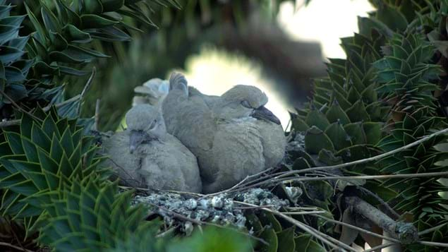 monkey puzzle with sleeping collared dove fledglings
