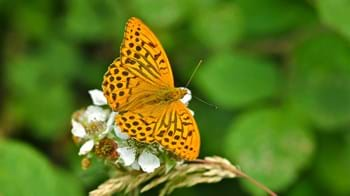 Silver-washed fritillary butterfly on flower