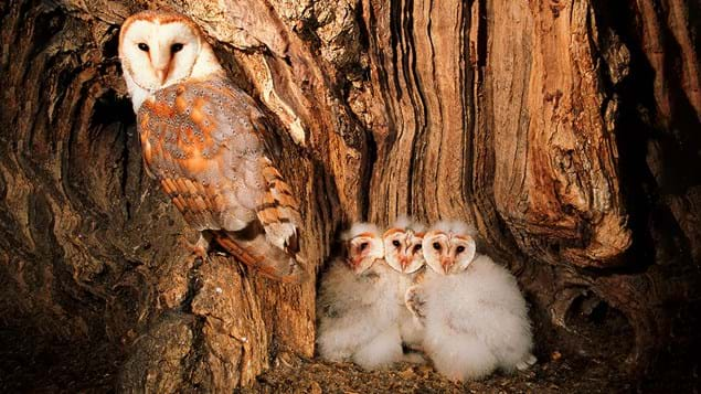 Barn owls female and chicks in nest