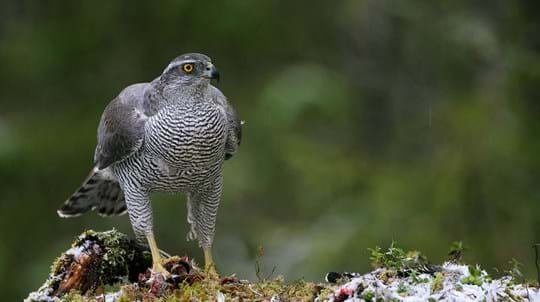 Goshawk perched on mossy stump