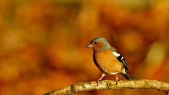 chaffinch perched on branch in autumn