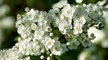 Hawthorn blossom with some flowers yet to bloom