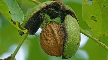 Open fruits of walnut