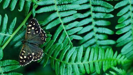 Speckled wood butterfly on bracken