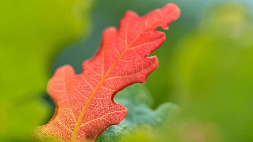 Autumn leaf, close-up, Marden Park