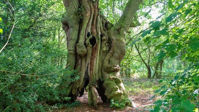 Hollow, 400-year-old sweet chestnut in Pontypool Park