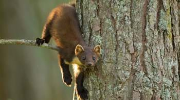 Juvenile pine marten on tree trunk