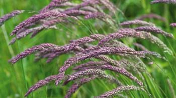 Yorkshire Fog Grass Purple Seedheads