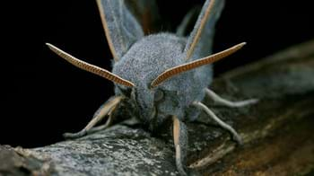 Poplar hawk-moth close-up