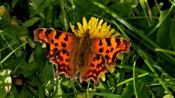 comma butterfly in grass
