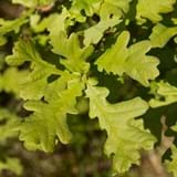 Close up of green oak leaves