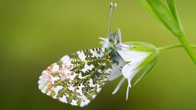 Orange-tip butterfly on greater stitchwort flower