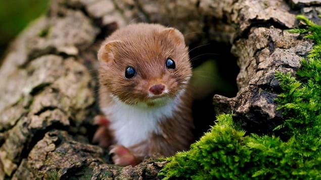weasel poking its head out of trunk
