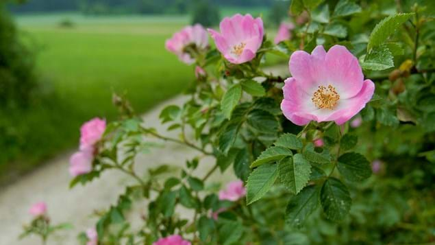 dog rose flowers and leaves