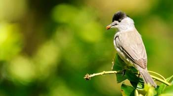 blackcap with nut in beak