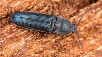 Violet click beetle on bark