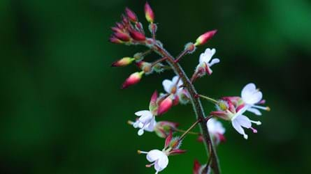 Enchanter's nightshade flowers and seedpods close-up
