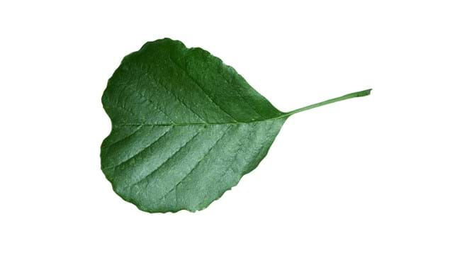 Alder leaf close up on a white background