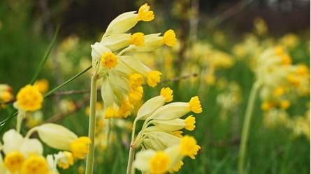 Cowslip close-up flowering in meadow