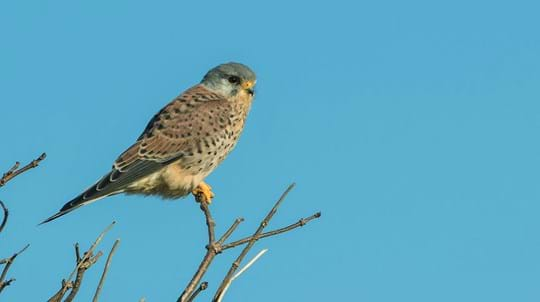 Kestrel perched on branch