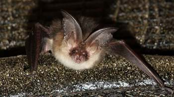 Brown long eared bat looking at camera