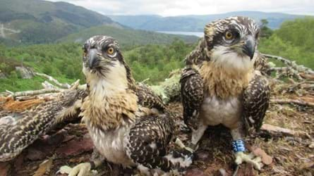 Two Arkaig Osprey Chicks in the nest