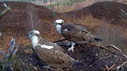 Side view of two ospreys standing in a large treetop nest with hills and trees in the background