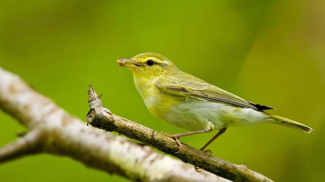Wood warbler with grub in its beak perched on branch