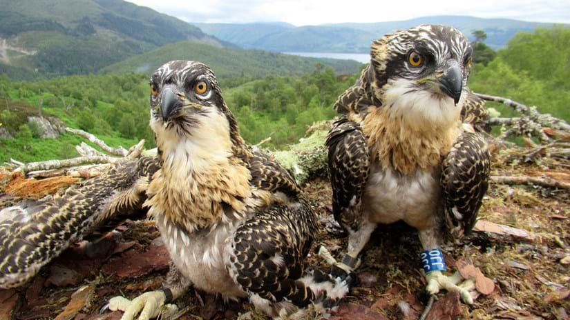 Two osprey chicks in the nest at Loch Arkaig