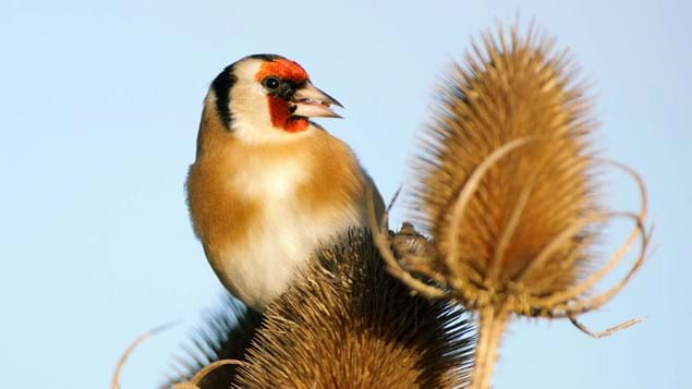 goldfinch eating teasel seed